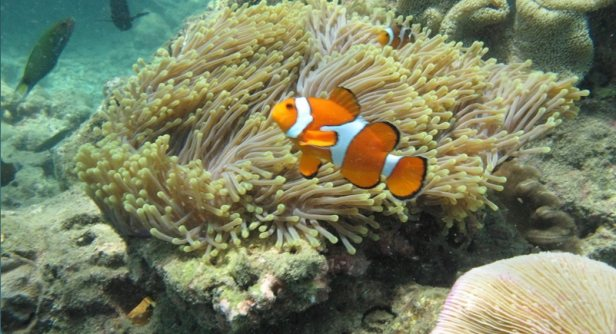 1-swim-with-clown-fish