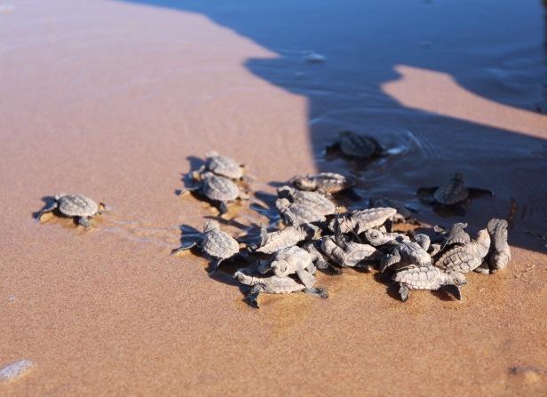little-turtle